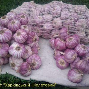 Купити часник на посадку сорт Харківський фіолетовий Часникова Ферма 0969642332